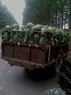 河南西瓜那里有|河南西瓜大市场|河南西瓜怎么批发