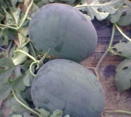 大量批发河南西瓜-常年销售河南西瓜-河南西瓜批发商