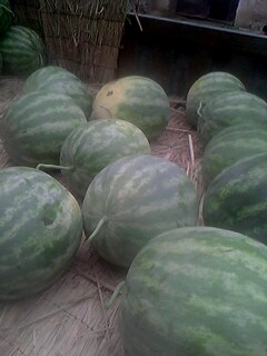 河南开封优质西瓜(5-9月开始销售)