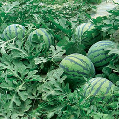 那里批发西瓜|河南西瓜|批发有籽无籽西瓜|河南西瓜交易市场