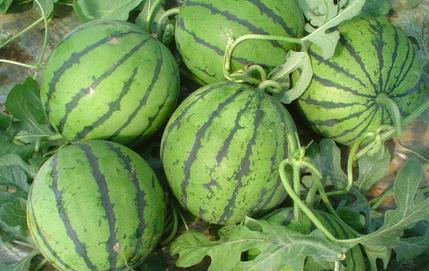 什么季节什么西瓜-开封通许西瓜-河南开封通许西瓜